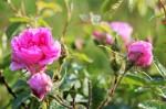 Rožės skinamos anksti ryte, kuomet dar yra drėgnos ir savyje turi daugiausia aliejaus, asm. archyvo nuotr.